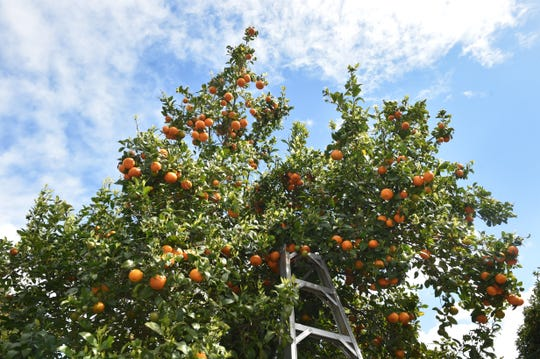 Local citrus farmers are concerned that huanglonbing, a disease spread by the Asian citrus psyllid, could kill Ventura County trees like these near Santa Paula.