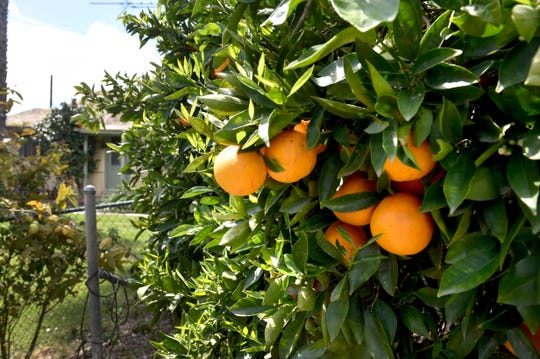 Oranges grow in an orchard near Santa Paula. Local citrus farmers are concerned that a disease known as huanglonbing, which kills citrus trees, could hit Ventura County's agriculture industry in the next few years.