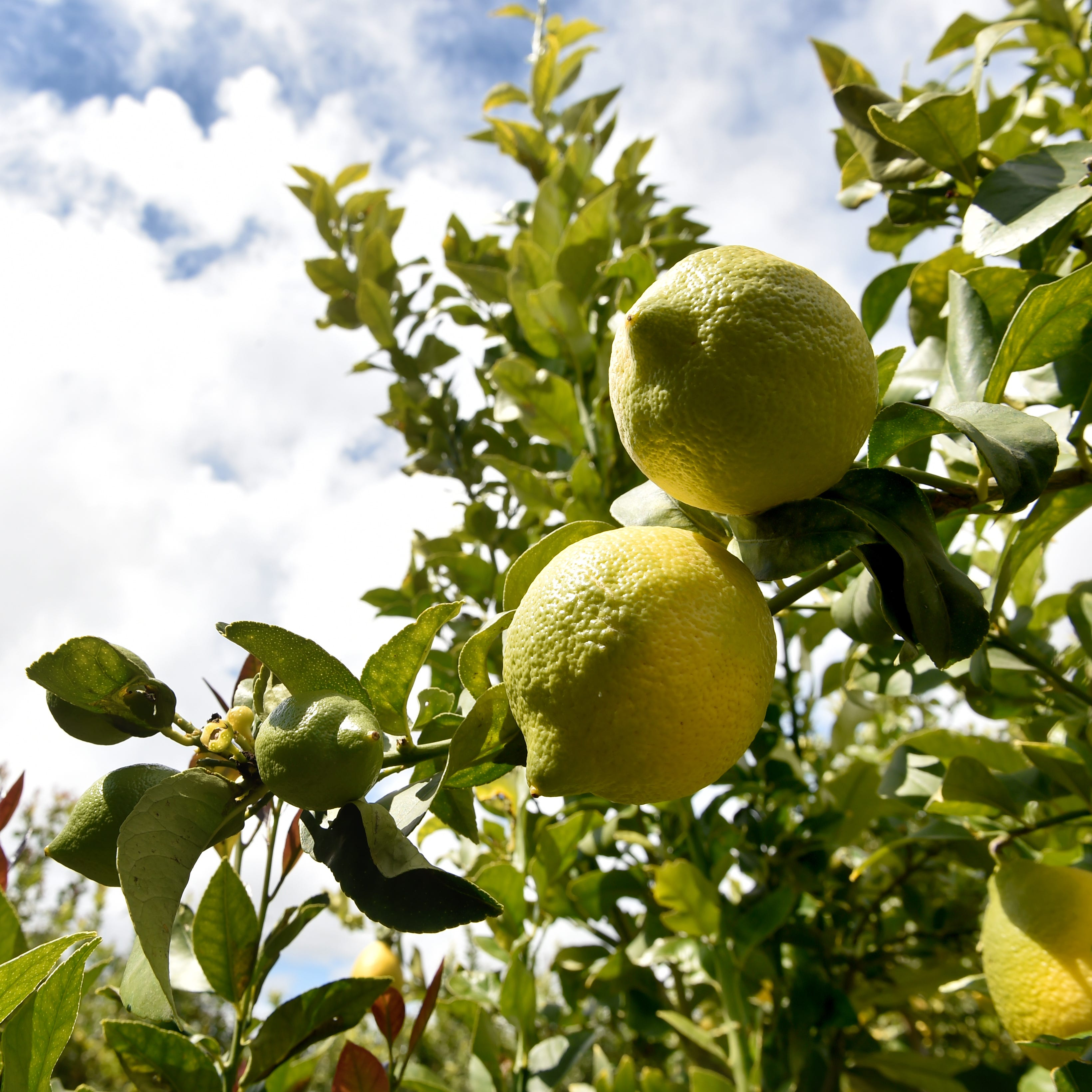 Growers fear deadly citrus disease is already in county