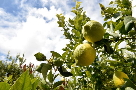 Lemons, like these near Santa Paula, were a $258.6 million crop for Ventura County in 2017.