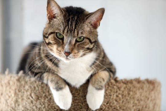 A cat in the community room at the Yonkers Animal Shelter March 27, 2019. They currently have 60 cats.