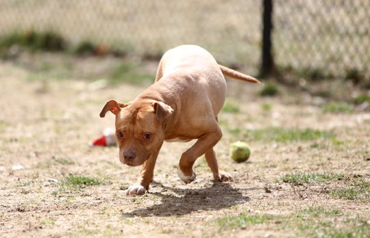 Red, a three-year-old pit bull, plays outside at the Yonkers Animal Shelter March 27, 2019.