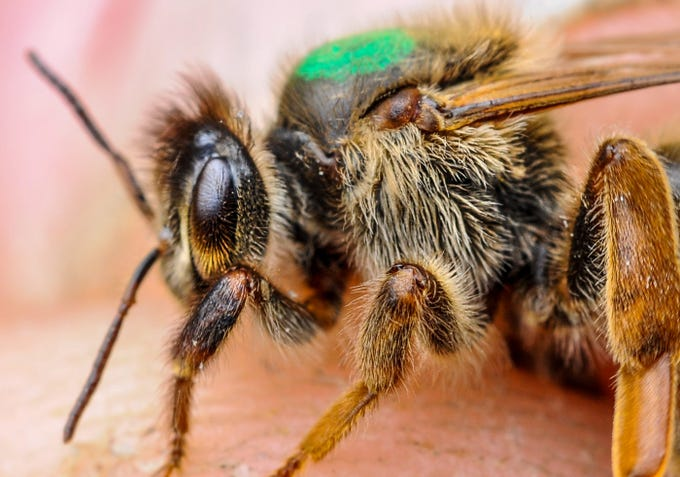 A queen bee at the Bee Well Honey office in Pickens is marked with green paint.