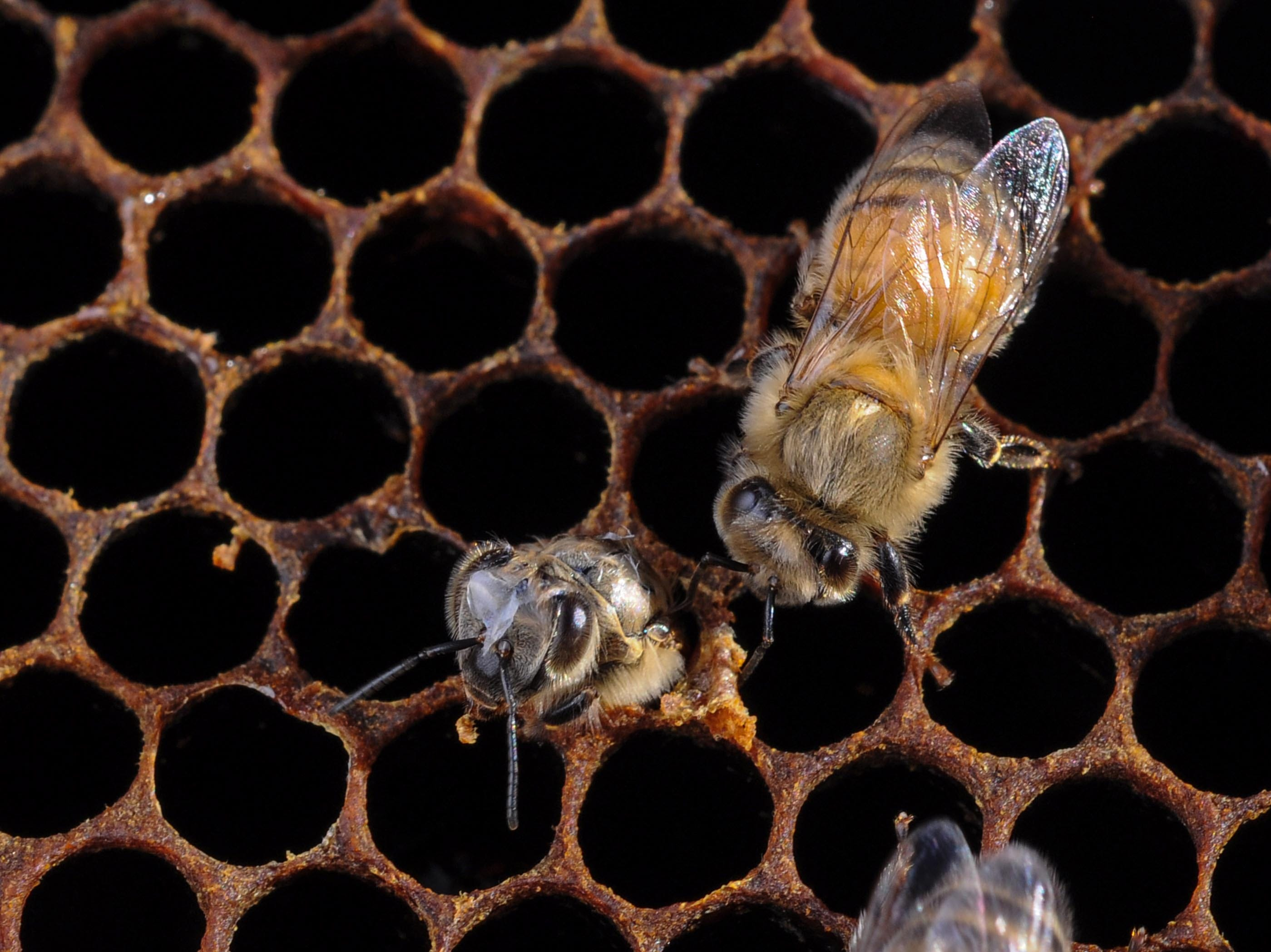 A newborn bee breaks out of a honeycomb at the Kaplan farm in Pickens Thursday.