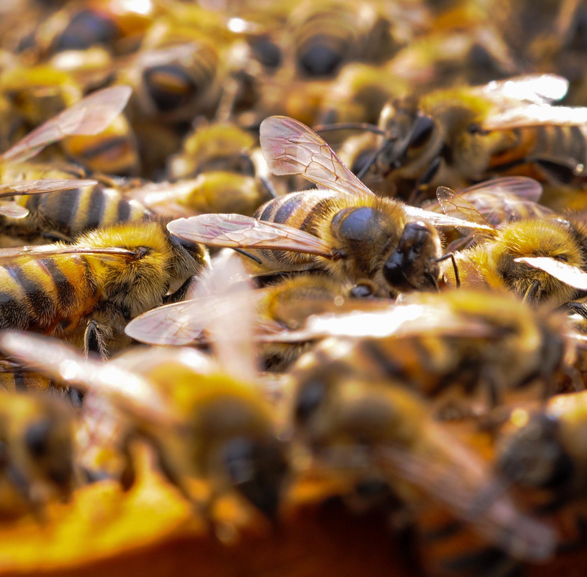 Report: Bee attack leaves two dogs dead