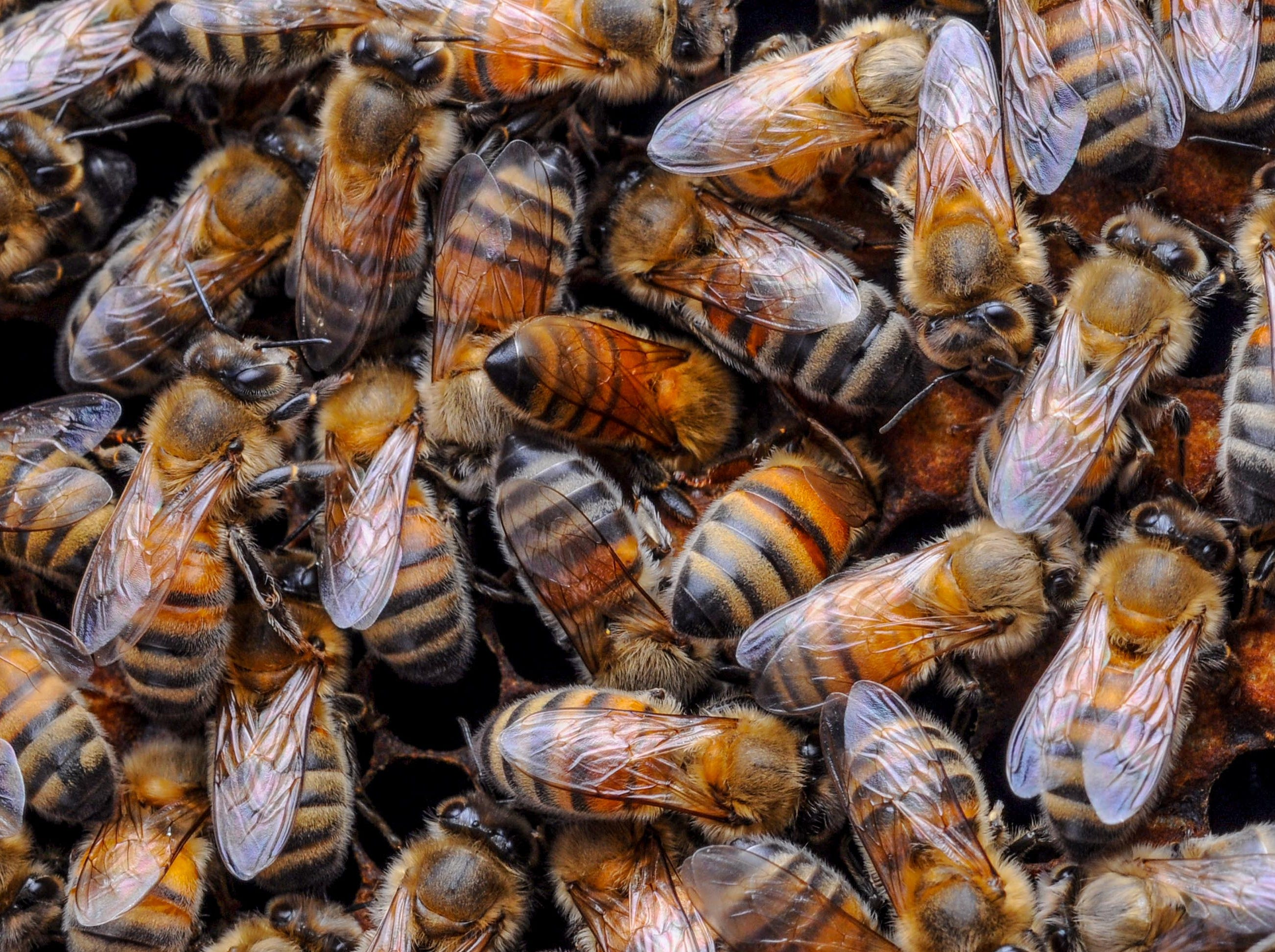 A honeycomb of bees at the Kaplan farm in Pickens Thursday.
