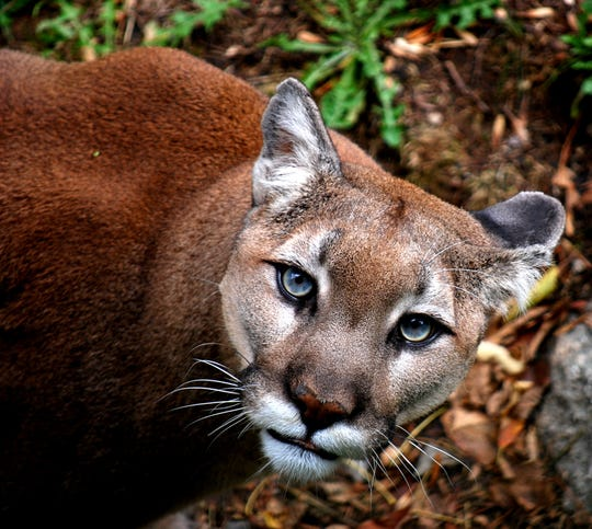Aspen, one of Grandfather Mountain's resident Western cougars, was a favorite among visitors to the Linville, N.C., nature park, often heard purring and vocalizing to his keepers and those who met him.