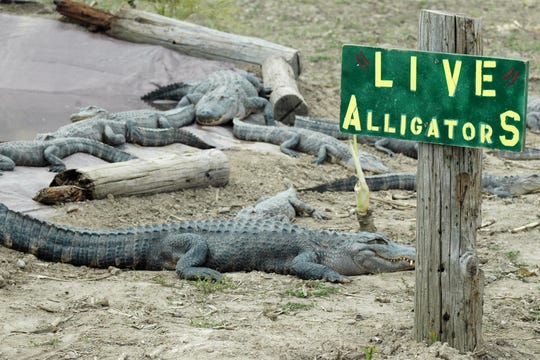 American Alligators bask in the sun in their exhibit at the Critchlow Alligator Sanctuary, 1698 M-66, in Athens.