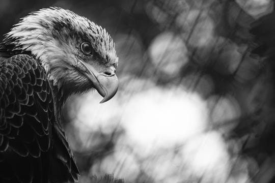 Ajax, one of Grandfather Mountain's resident bald eagles, delivers a striking pose during Nature Photography Weekend. The annual photography event returns May 31 to June 2, offering participants to opportunity to learn from expert photographers and apply their techniques in the field.