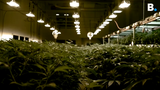 The Free Press got an exclusive tour of Champlain Valley Dispensary medical marijuana grow operations in Milton, Vermont, on Tuesday, March 19, 2019.