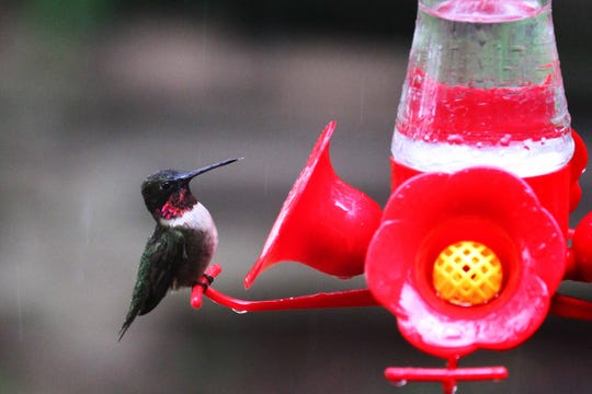 """Avoid red dye in hummingbird nectar. Learn more about hummers at noon April 13 at Audubon State Park Museum. Sharon Sorenson will present """"Hooked on Hummingbirds."""" It is free to public as part of the spring festival."""