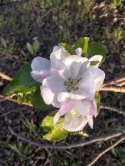 An apple tree blossom is captured at the U-Pick Mesilla Valley Apple Orchard in spring 2019.