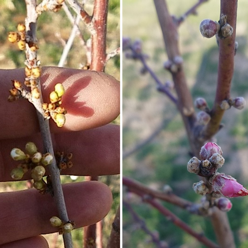 Late frost? Here are some tips for protecting fruit trees
