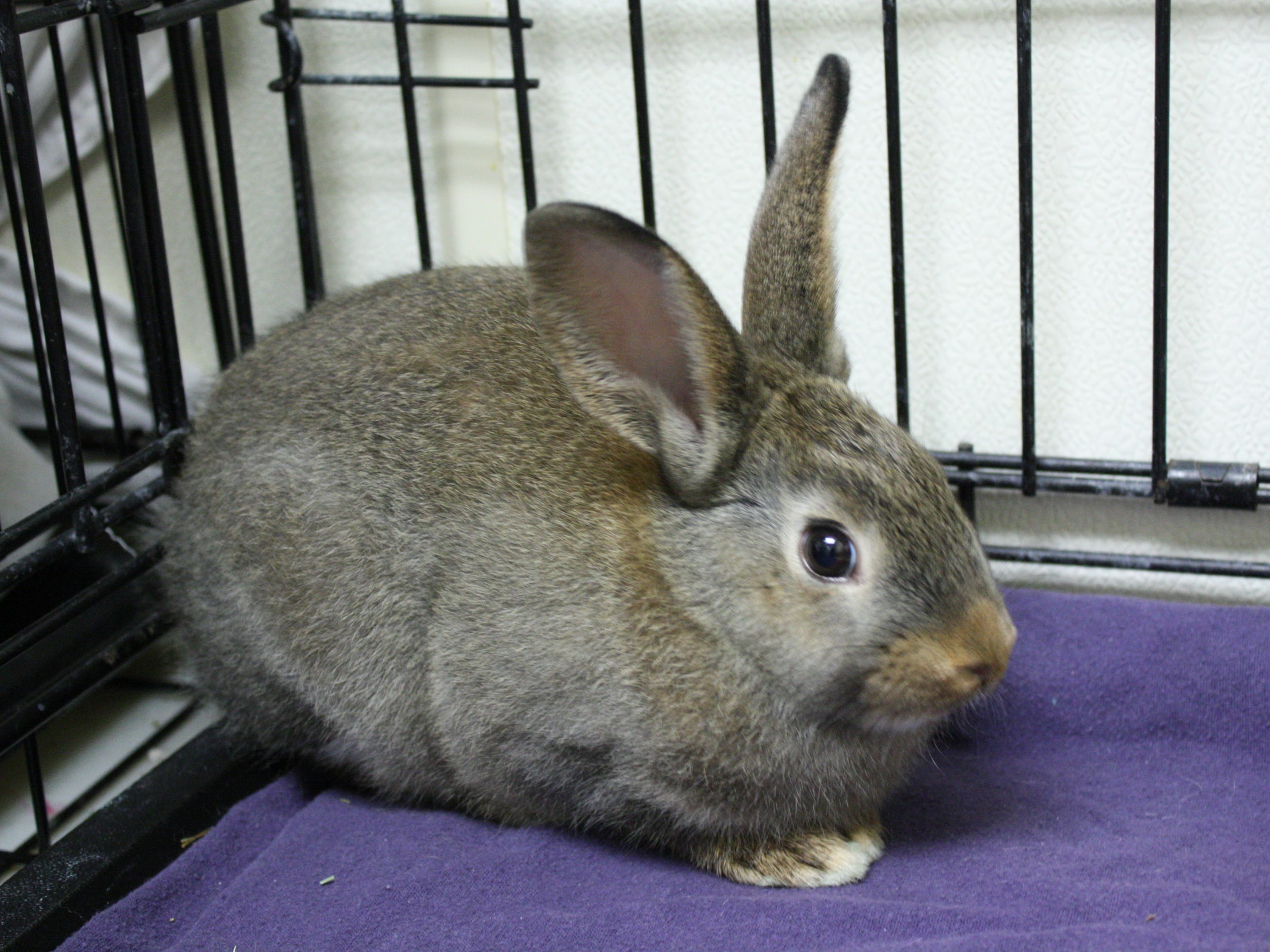 A 1-month-old American rabbit, Merino wants to go home with his sister, Cashmere.