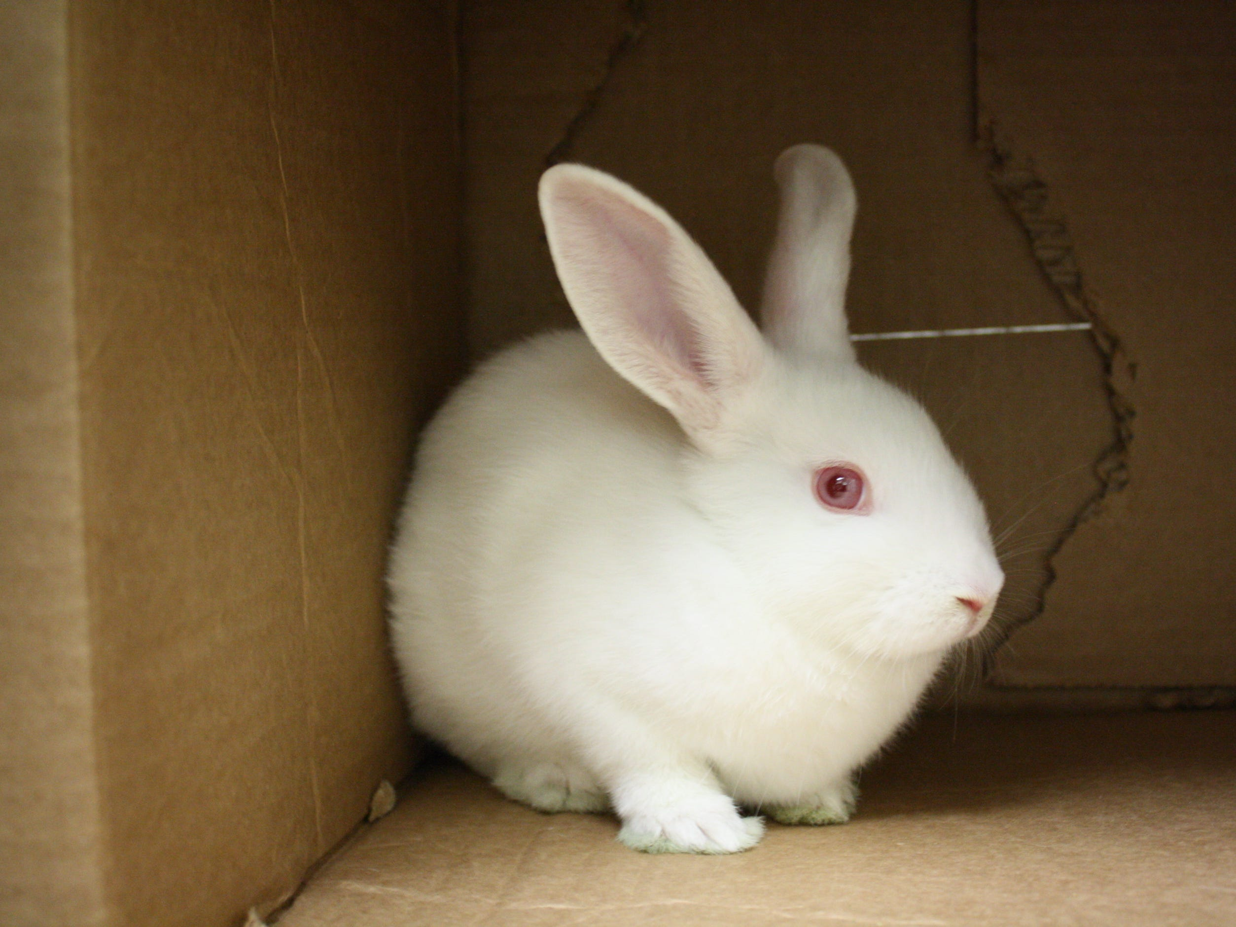 Cashmere, a 1-month-old American rabbit, wants to go home with her brother, Merino.