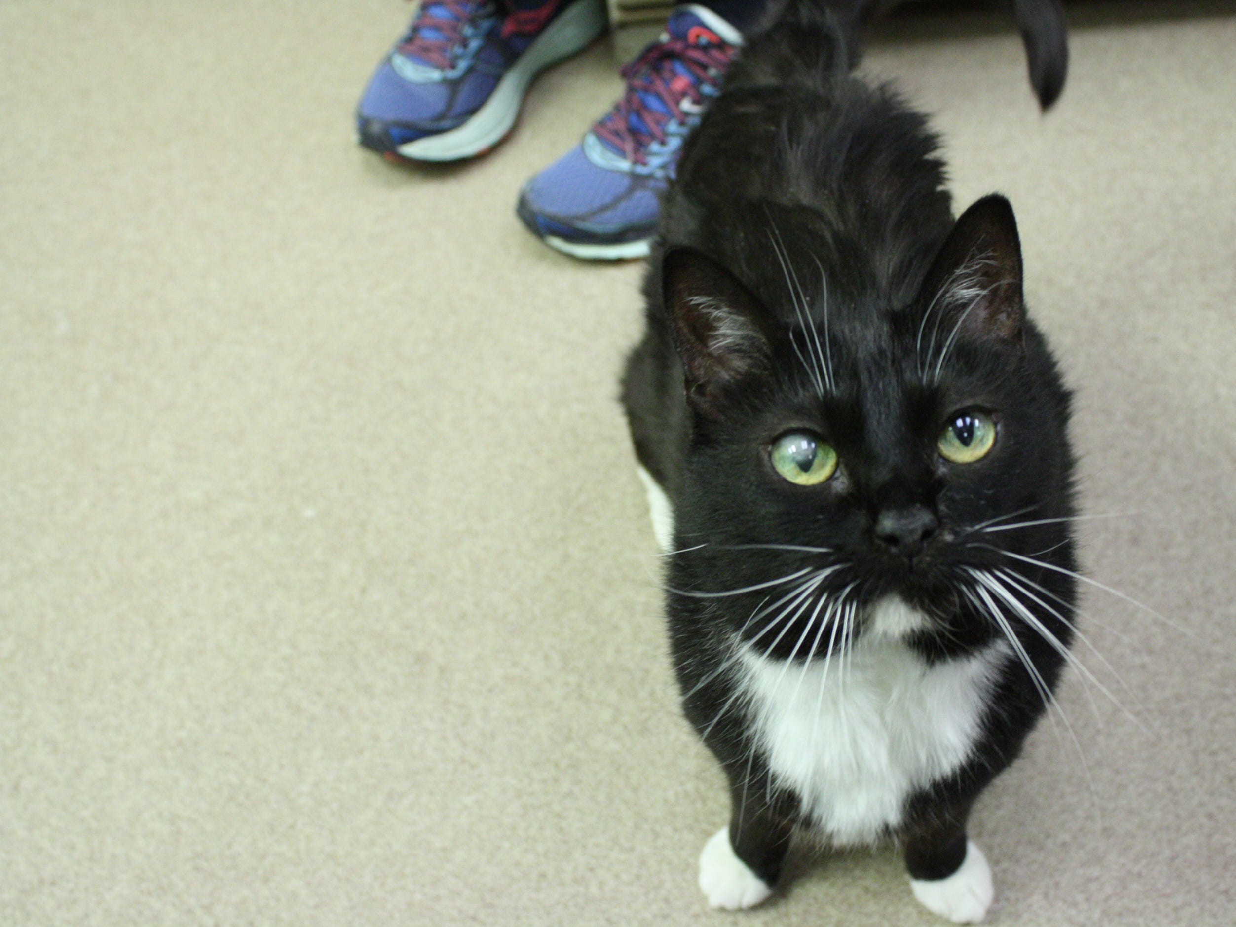 Amelia, 10, is small, sweet and loves laps. She wants to be adopted with her best friend, Charles, and is spayed.