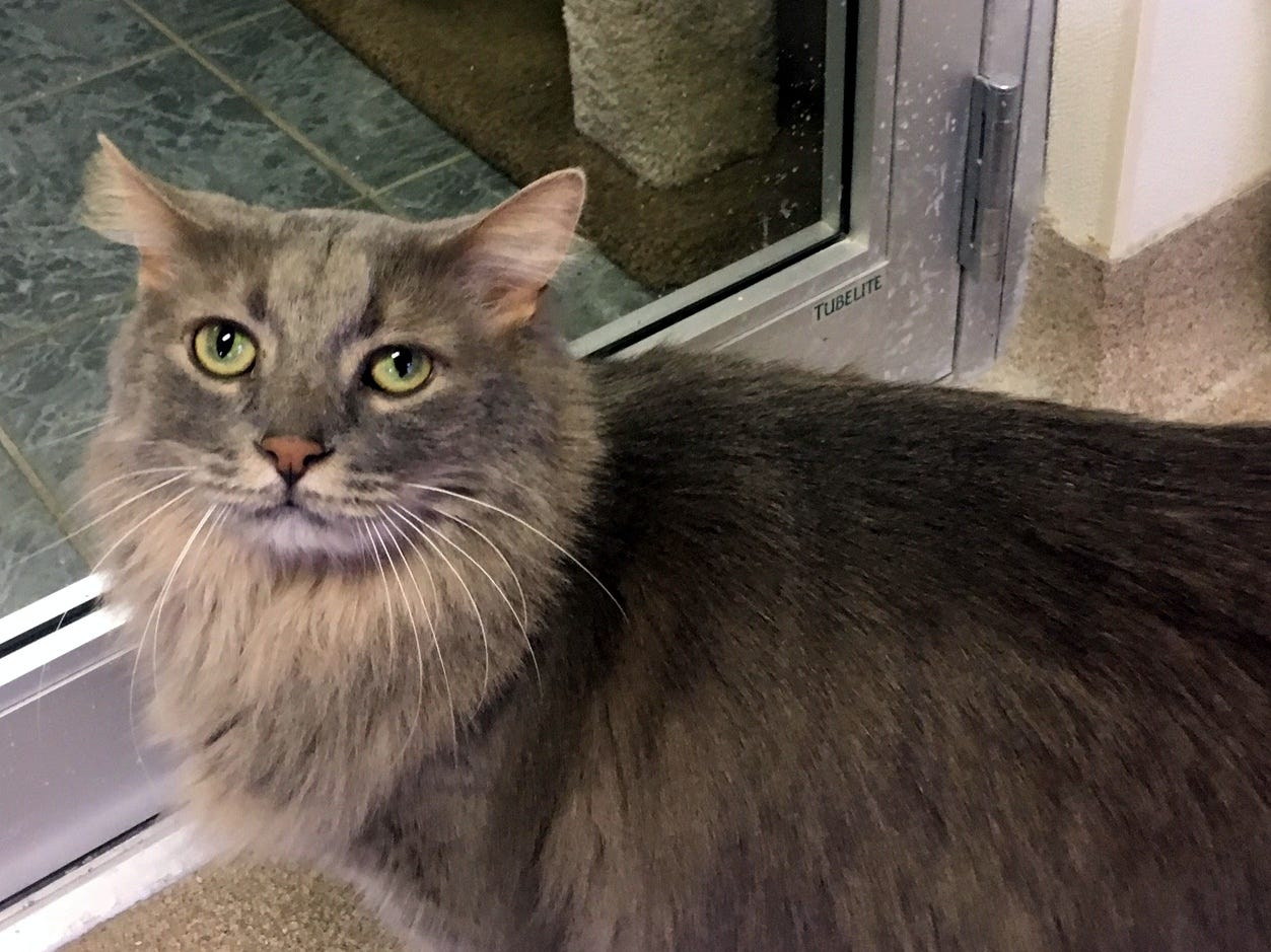 Milo, 7, is sweet and loves chin and head scratches. He is neutered.