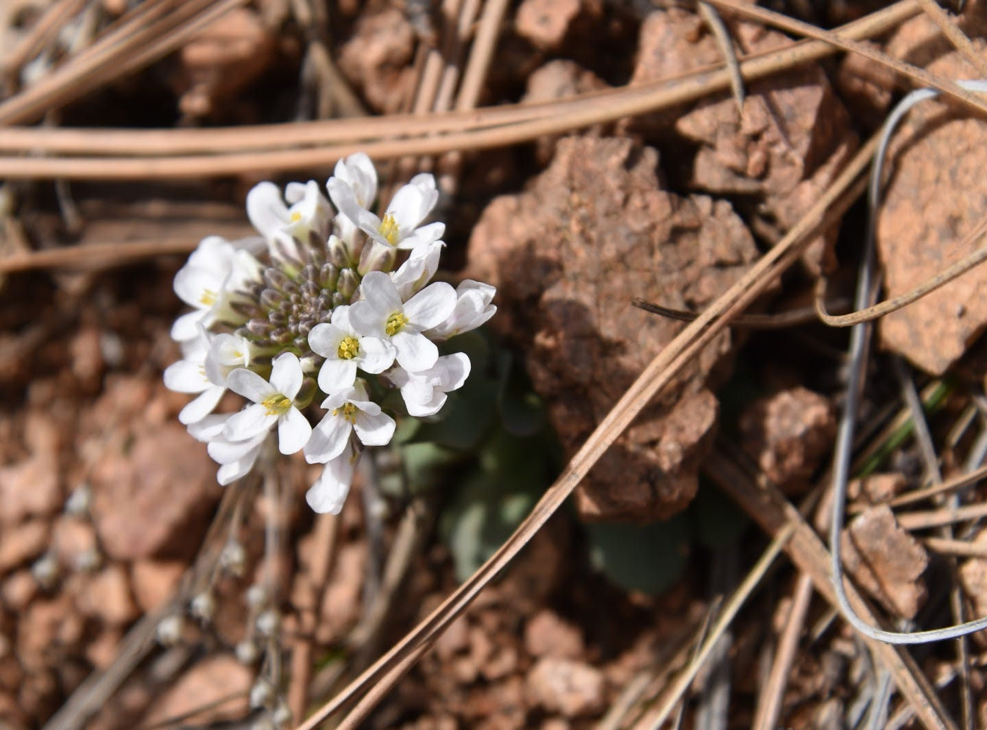 Wild candytuft blooms along the Firewater loop route from February through August.