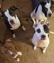 This is the Curtice family. They are all rescued dogs. Triton, Peyton, Fancy and Kayla.