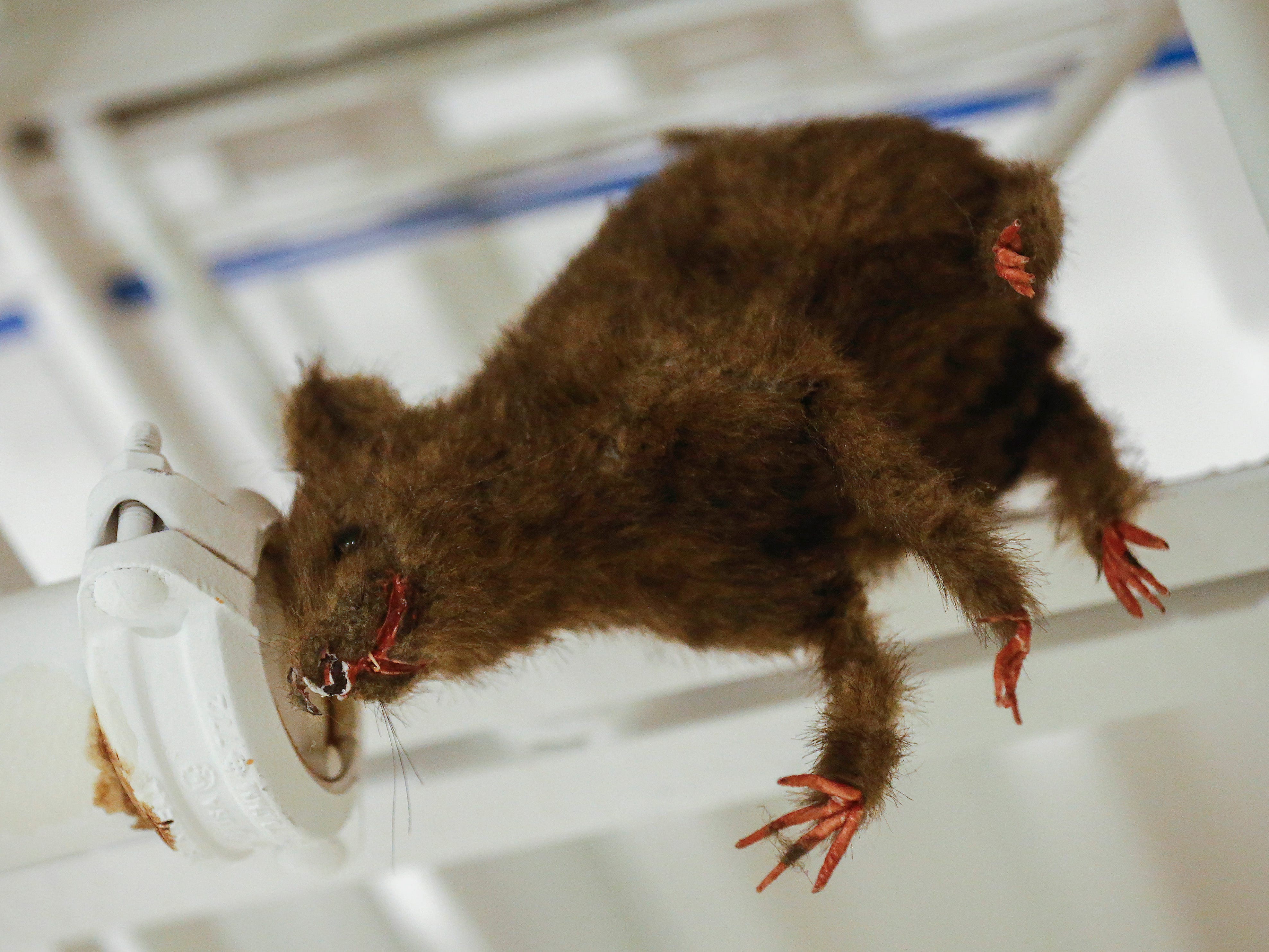 A stuffed rat hangs out in the ceiling at the Discovery Center where the new 9-hole indoor miniature golf course is located at the science museum.