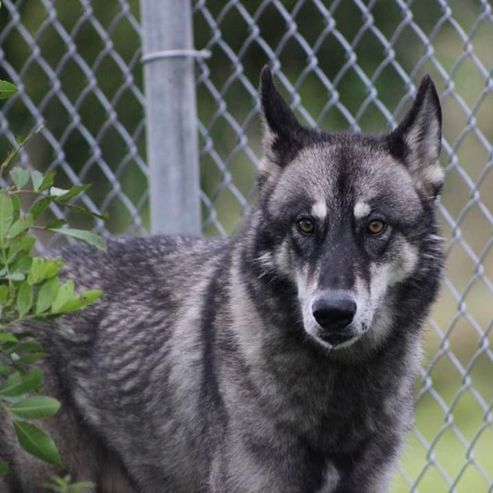 Wolf hybrid escaped from Indian River County exotic animal sanctuary