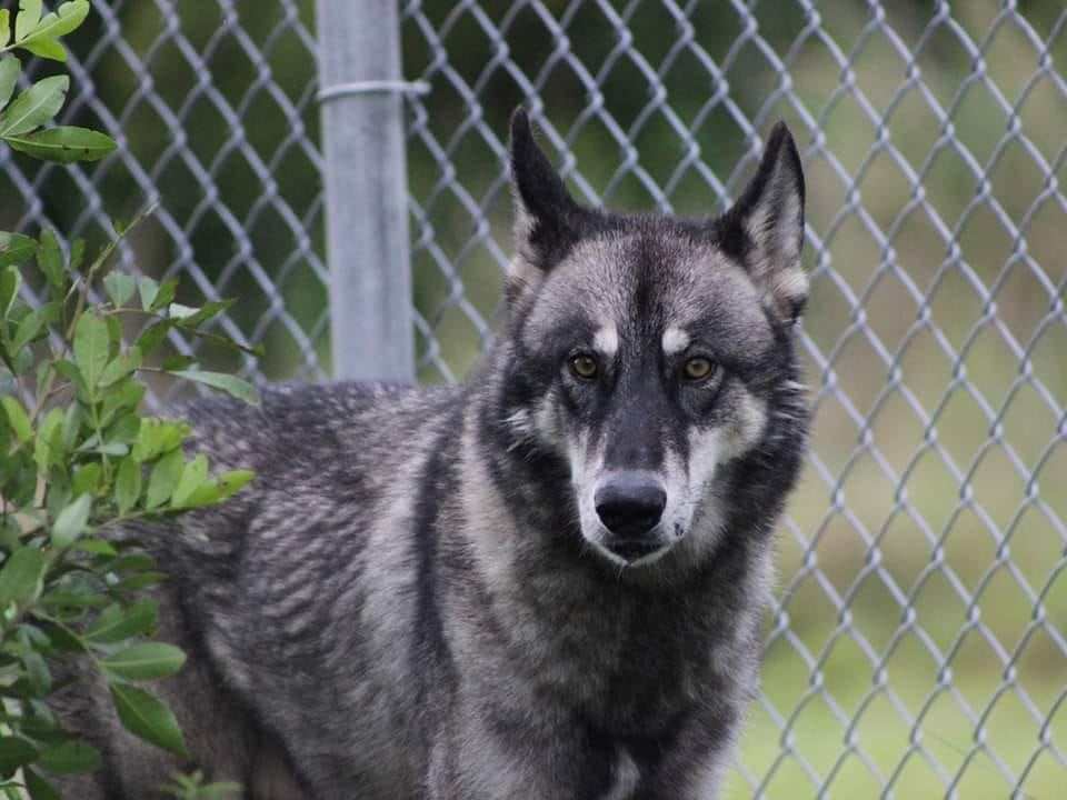 Wolf hybrid escapes from Indian River County exotic animal sanctuary