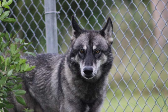 Jax is a wolf hybrid cared for by Critter Haven in Indian River County.