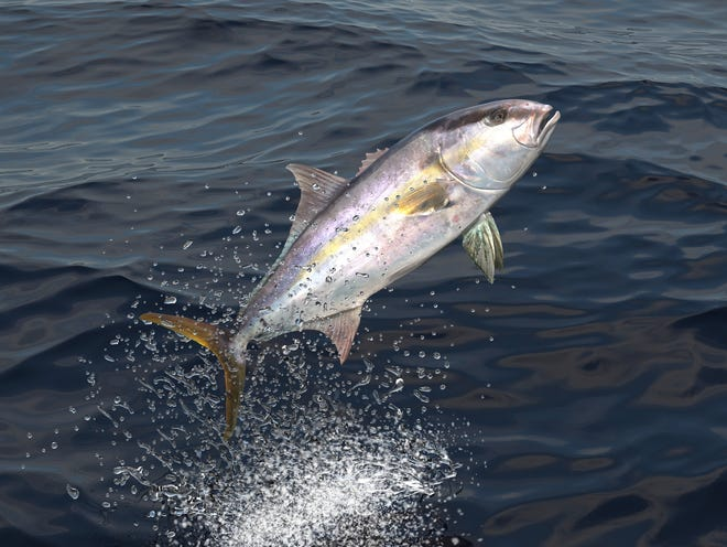 Come Saturday, greater amberjack open back up for harvest by recreational anglers in state and federal waters off our shores for the month of May.