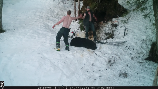 Two men, identified as Andrew Renner and Owen Renner, high five after poaching a mother bear in a video released by the Humane Society of America.