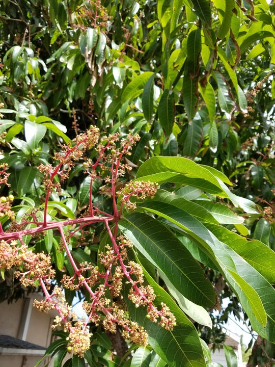 Mango trees in our area have begun to flower. Let's just hope a cold snap doesn't prevent fruit from growing.