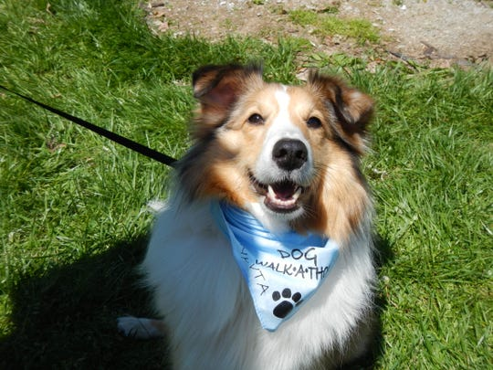 Crosley is ready for the Northern Kentucky Charity Dog Walkathon on Sunday, April 28.