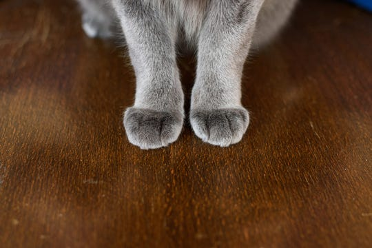 Front paws of cat on table