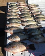 Covering a tailgate with crappie hasn't been a problem at Ross Barnett Reservoir.