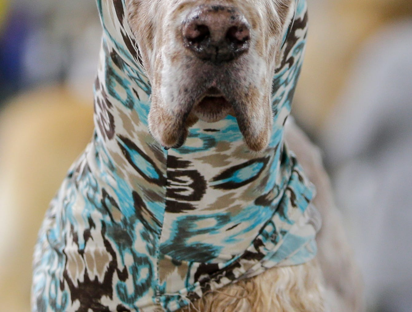 An English setter named Austin belonging to Abigail Anderson, of Bailey, Colo., wears an ear wrap as he's groomed before his showing in the Northeast Wisconsin Dog Show Classic at the Manitowoc County Expo Center Thursday, March 28, 2019, in Manitowoc, Wis. Joshua Clark/USA TODAY NETWORK-Wisconsin