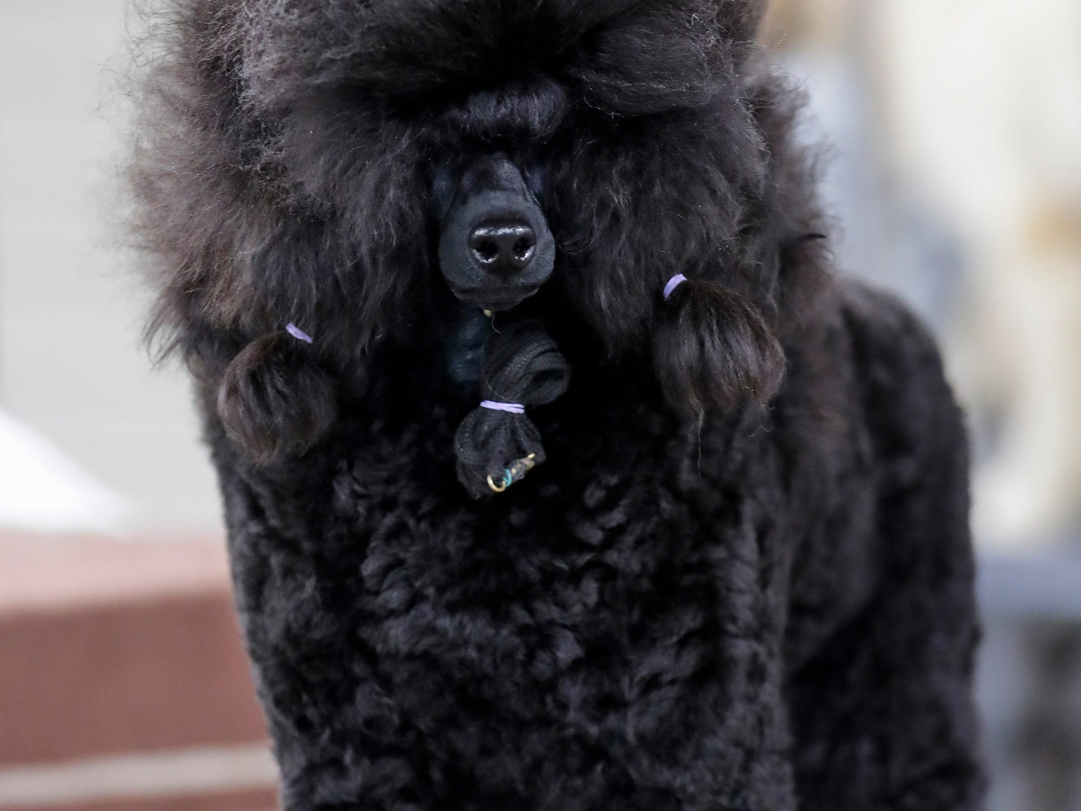A poodle waits on the grooming table during the Northeast Wisconsin Dog Show Classic at the Manitowoc County Expo Center Thursday, March 28, 2019, in Manitowoc, Wis. Joshua Clark/USA TODAY NETWORK-Wisconsin
