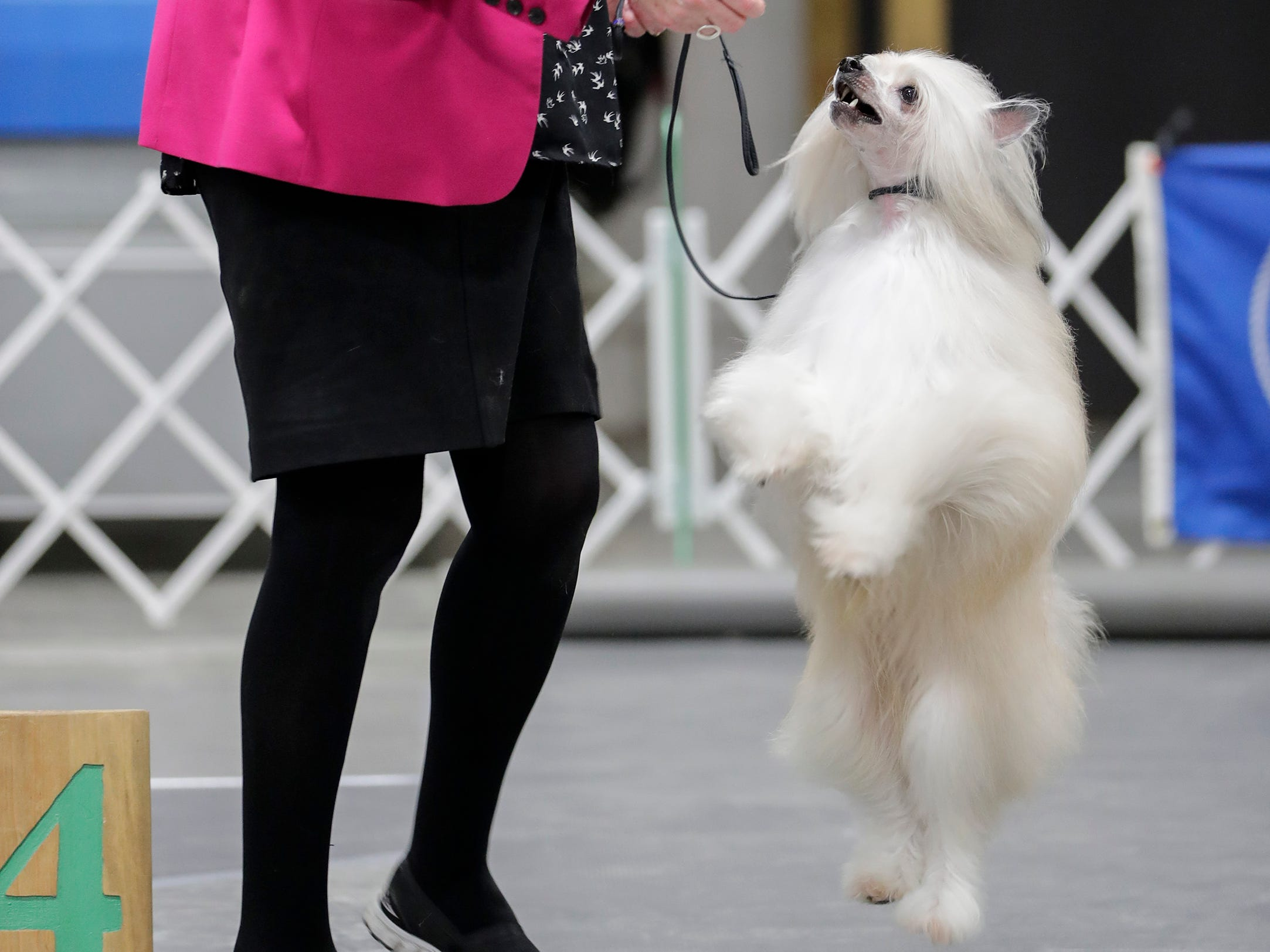 Peggy May, of Winnipeg, Manitoba, gives Leo her Chinese crested powderpuff a treat after they take fourth in the toy group show during the Northeast Wisconsin Dog Show Classic at the Manitowoc County Expo Center Thursday, March 28, 2019, in Manitowoc, Wis. Joshua Clark/USA TODAY NETWORK-Wisconsin