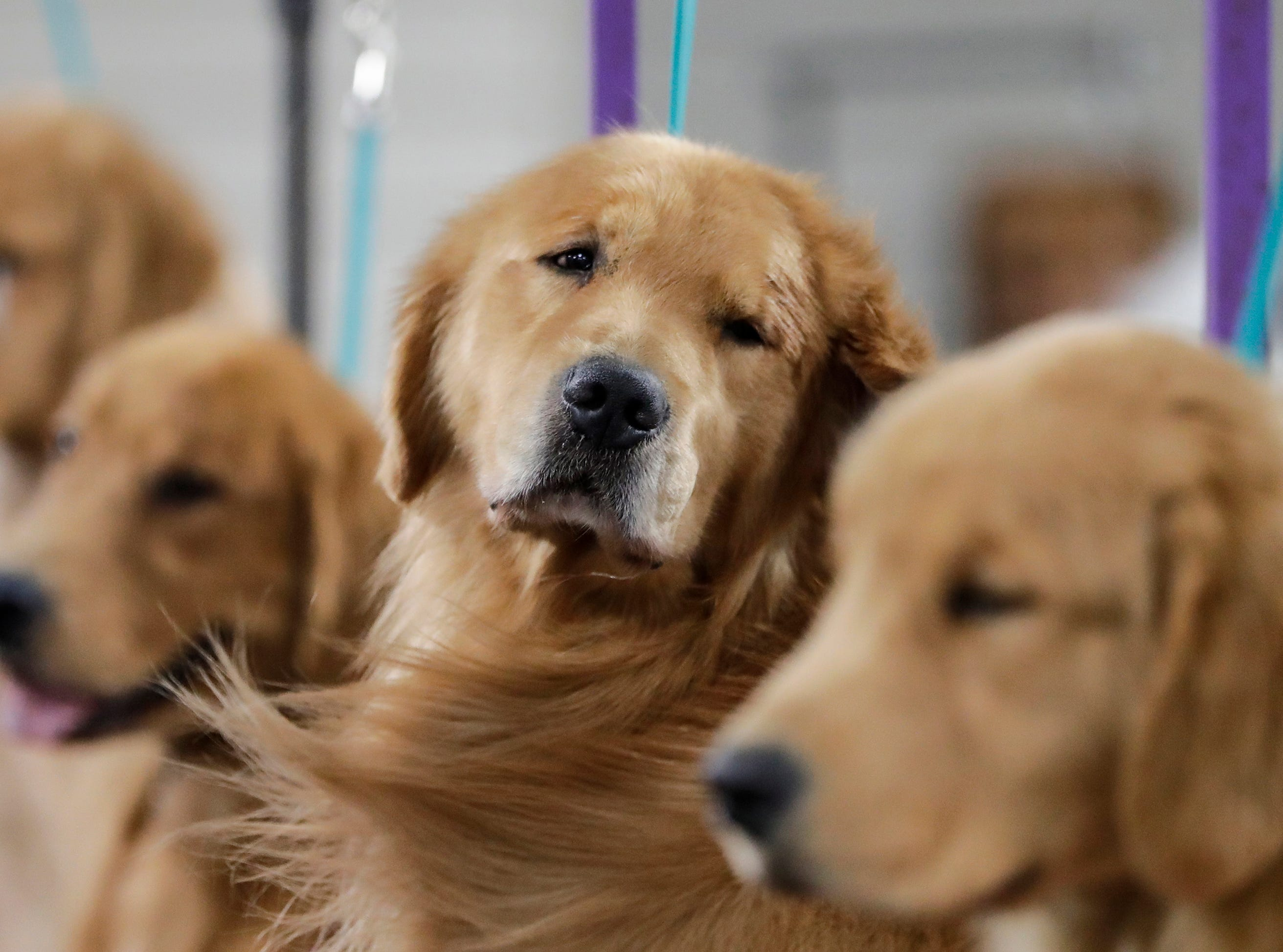 A golden retriever sits patiently for the hair dryer during the Northeast Wisconsin Dog Show Classic at the Manitowoc County Expo Center Thursday, March 28, 2019, in Manitowoc, Wis. Joshua Clark/USA TODAY NETWORK-Wisconsin