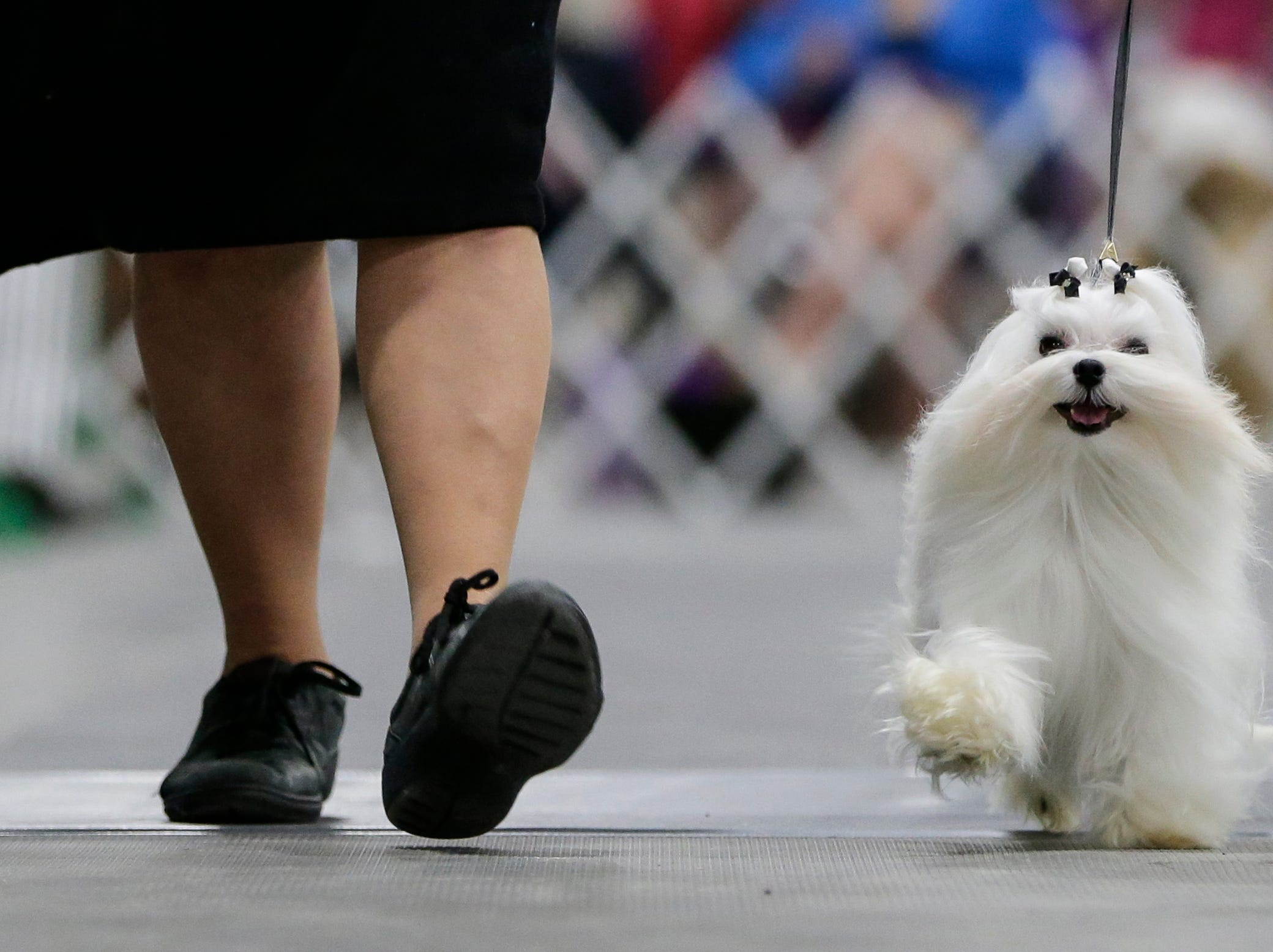 A maltese is taken around the ring in the toy group show during the Northeast Wisconsin Dog Show Classic at the Manitowoc County Expo Center Thursday, March 28, 2019, in Manitowoc, Wis. Joshua Clark/USA TODAY NETWORK-Wisconsin