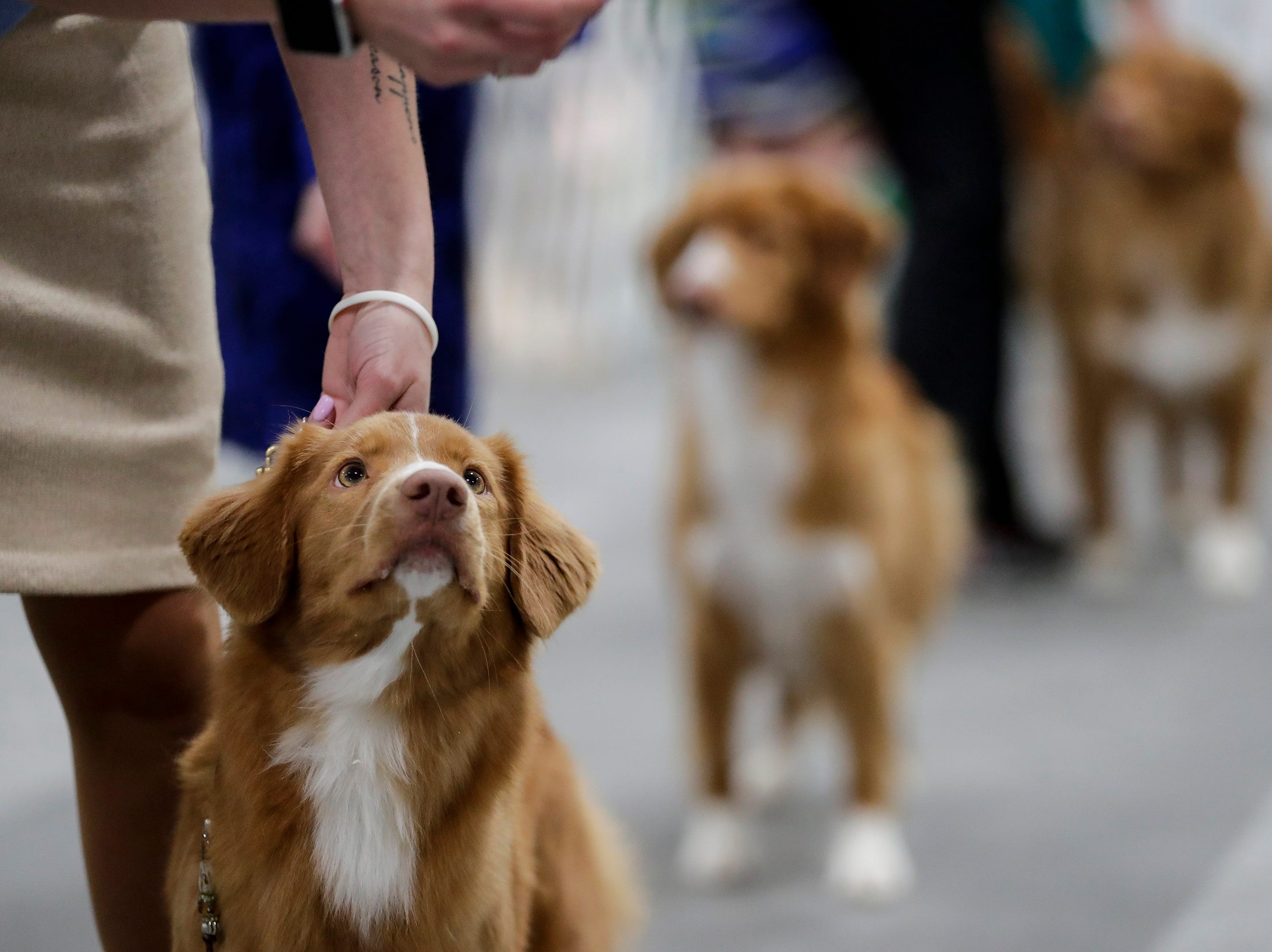 Taylor, a Nova Scotia duck tolling retriever, eyes a treat during the Northeast Wisconsin Dog Show Classic at the Manitowoc County Expo Center Thursday, March 28, 2019, in Manitowoc, Wis. Joshua Clark/USA TODAY NETWORK-Wisconsin
