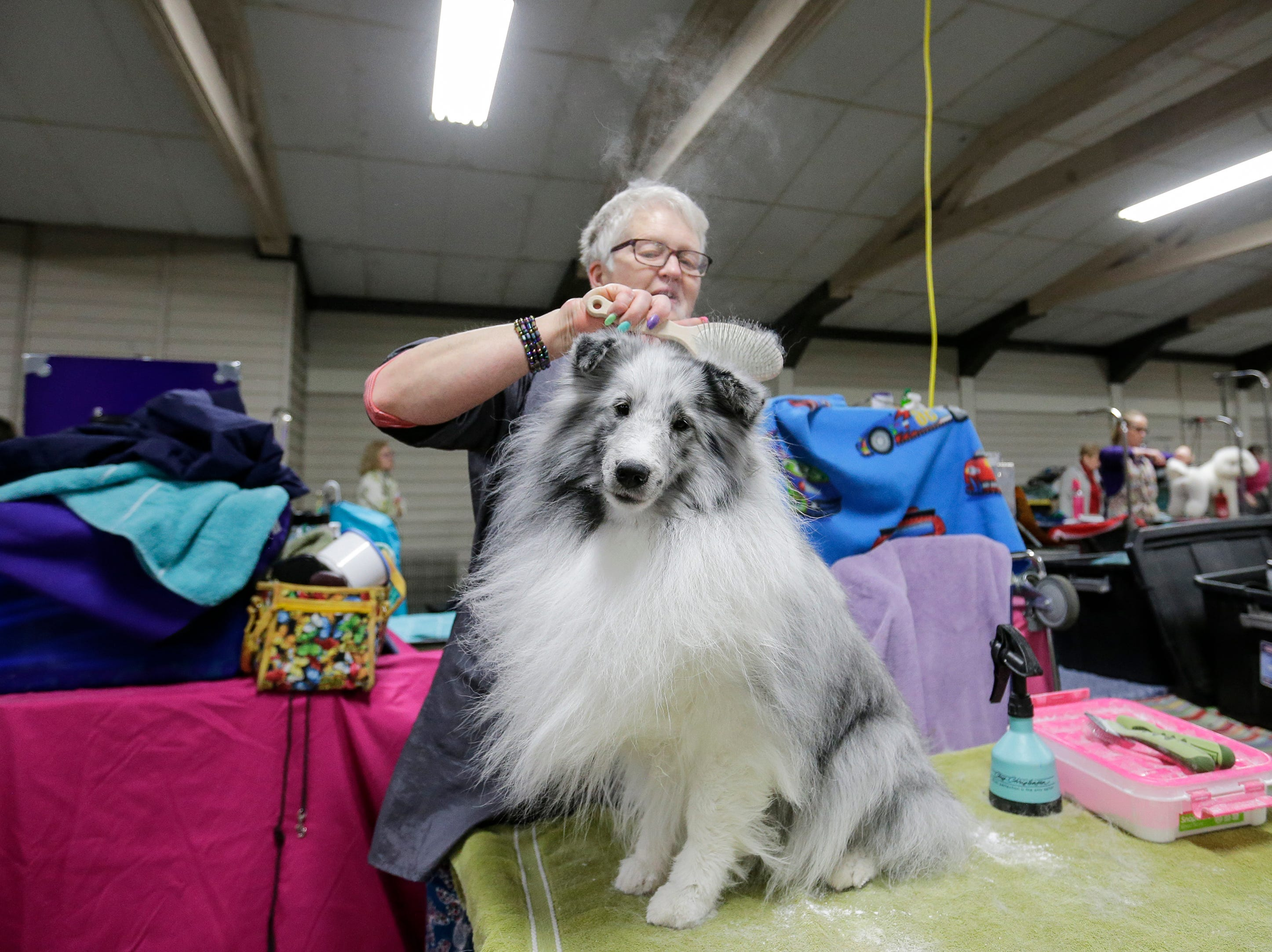 Kay Detemple, of Luxemburg, powders Liam her Shetland sheepdog during the Northeast Wisconsin Dog Show Classic at the Manitowoc County Expo Center Thursday, March 28, 2019, in Manitowoc, Wis. Joshua Clark/USA TODAY NETWORK-Wisconsin