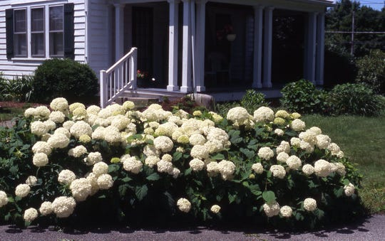 The hydrangea called Annabelle is an outstanding shrub with large white flowers. it blooms from June through July in part sun. Height is 3 feet, with equal spread. It blooms every summer and is deer resistant.