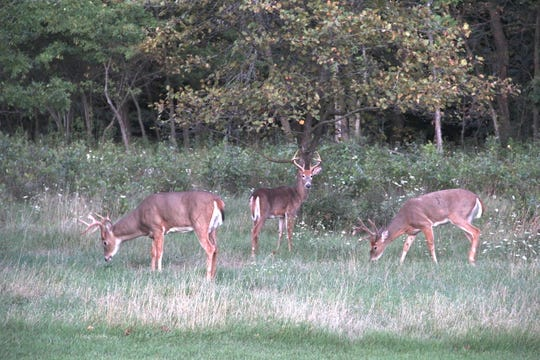 Three white-tailed deer feed along the edge of a woodlot in southern Wisconsin.