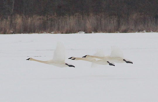 Trumpeter swans fly over a frozen northern Wisconsin lake.