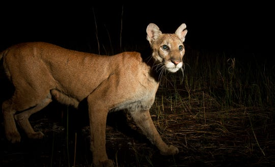 A female Florida panther trips a camera trap set up by USA TODAY NETWORK - FLORIDA photographer Andrew West at the Corkscrew Regional Ecosystem Watershed on Tuesday, March 26, 2019. The panther likely has kittens, said Dave Onorato, Florida panther research scientist for the Florida Fish and Wildlife Conservation Commission. There is a teat visible in the photo. How the notch came to be in her ear is unknown.