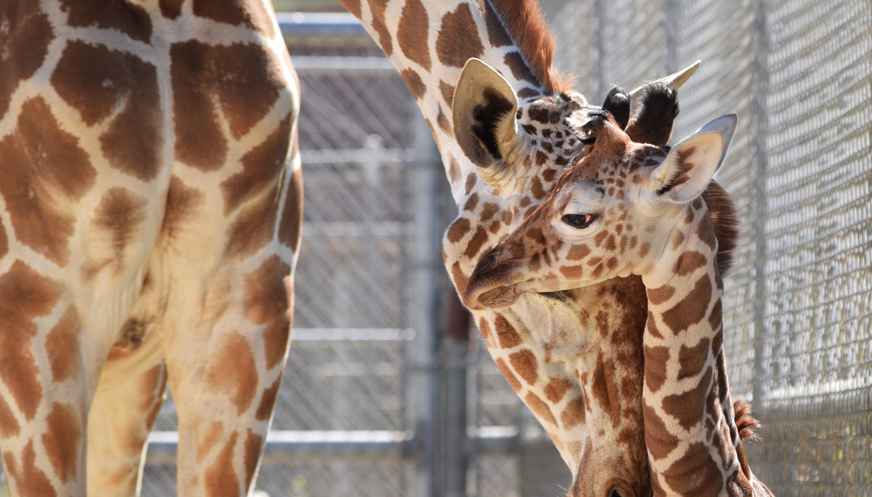 Living Desert Welcomes Baby Giraffe After Dad Hesabu Died