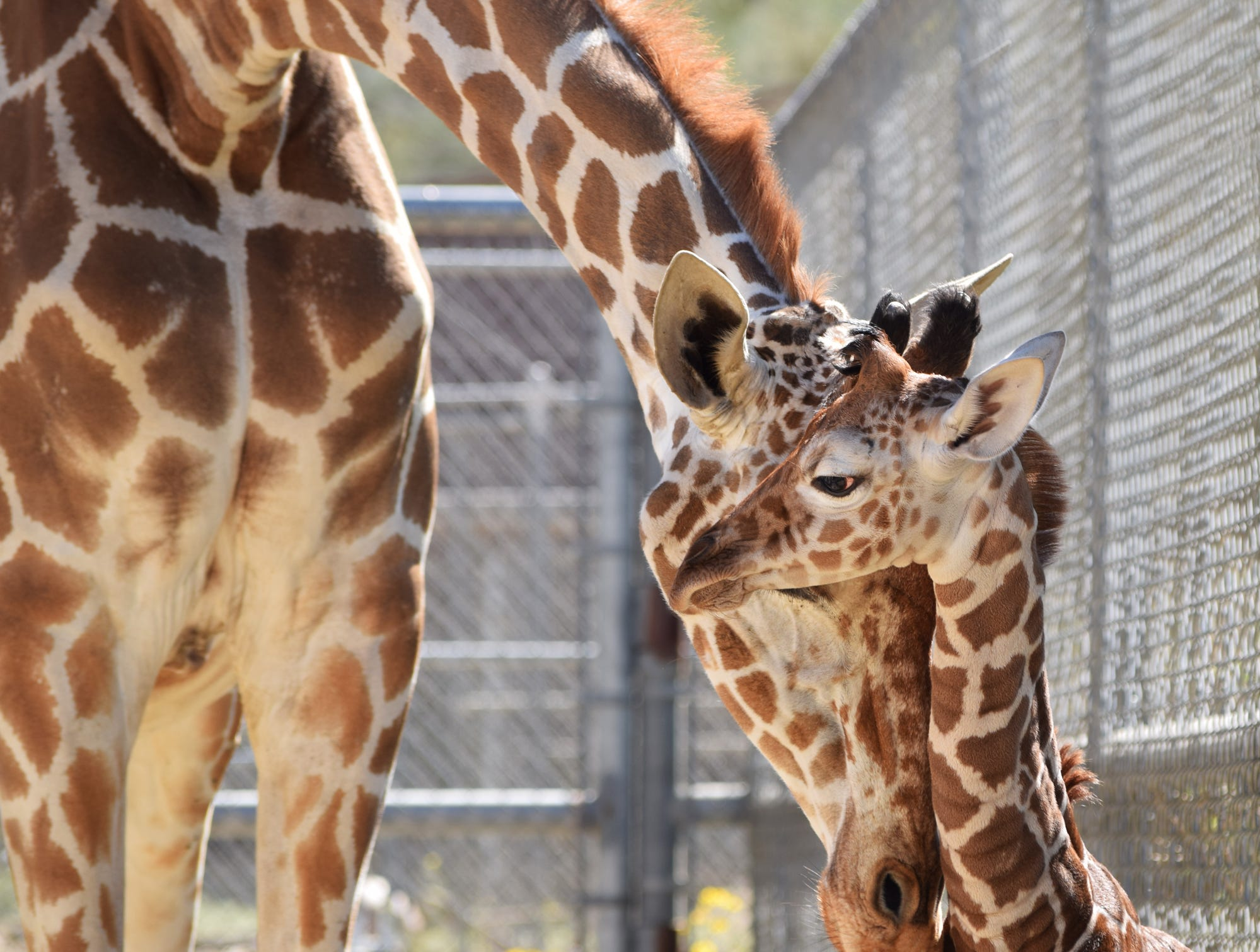 Dadisi with her latest offspring, a girl, born March 20, 2019, at The Living Desert. The calf was born weighing just under 150 pounds and standing 6-foot-1.
