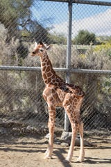 A baby giraffe born March 20, 2019, at The Living Desert, has yet to be named. The calf, a girl, is the offspring of mom Dadisi and dad Hesabu, who died in December.