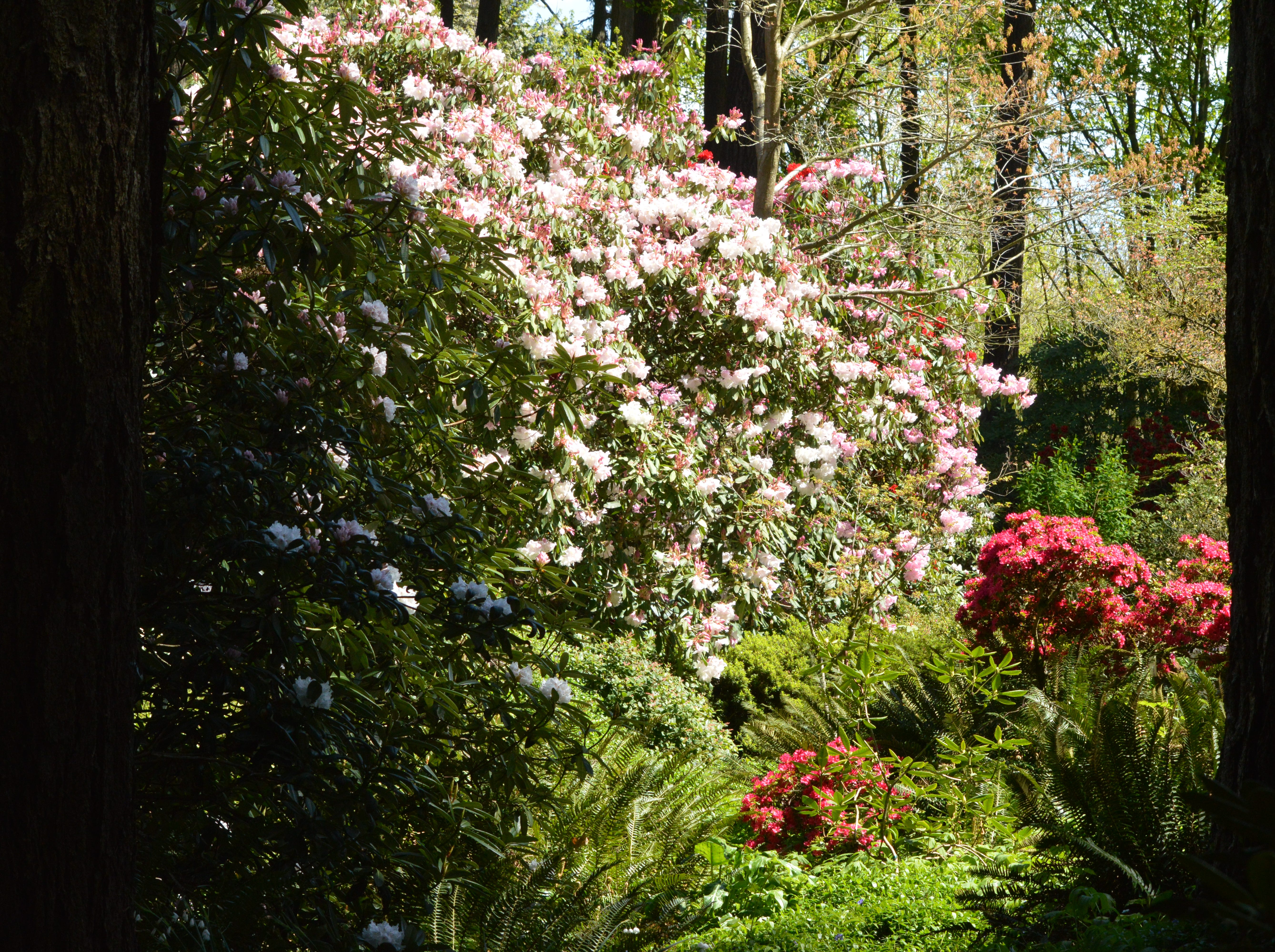 Open gardens: The Cecil and Molly Smith Rhododendron Garden, which features 600 of species and hybrid rhododendrons and other plants, will be open Saturdays and Sundays, 11 a.m. to 4 p.m. April 6 through May 19, 5055 Raybell Road NE, St. Paul. $3 admission, free for American Rhododendron Society Members. 503-625-6331.