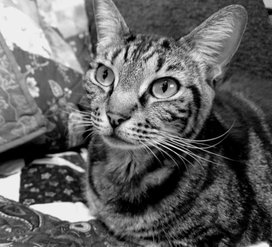 Mirielle is a full figured, spayed female tabby cat thatis recovering from neck  wounds.