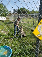 Jax, a wolf hybrid, was returned to Critter Haven in Indian River County and is pictured Friday, March 29, 2019, in his enclosure with a volunteer.